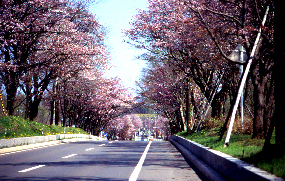 Noboribetsu The Cherry Blossom Avenues